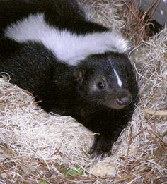 skunk - we had a baby @ the vet clinic & it was soooo cute, went to the rehabbers :)