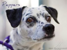 Peppers is an adoptable Dalmatian Dog in Carlsbad, CA. My name is PEPPERS. I'm a spayed WHITE/BLACK DALMATIAN/BLEND. My age is 6 YRS 0 MO. I'm in the Northern Region shelter. My ID number is A1455232,...