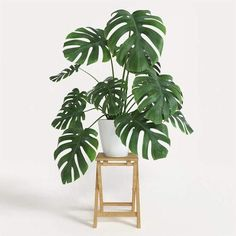 House Plants 824158800547222133 - Buy Philodendron monstera Split Leaf Plants, Source by gardensibercell Monstera Deliciosa, Plante Monstera, Living Room Plants, House Plants Decor, Inside Plants, Cool Plants, Indoor Outdoor, Indoor Garden, Philodendron Monstera