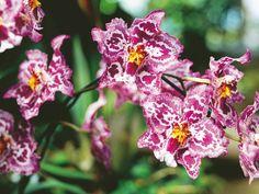 Kumpulan Gambar Bunga Anggrek Blog Bunga Amazing Flowers 13742cc378