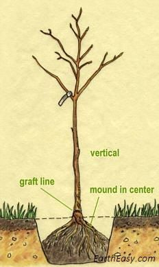 How to Plant and Care for New Fruit Trees