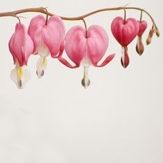 Bleeding Hearts- these will forever remind me of my Father - Tatuering Bleeding Heart Tattoo, Bleeding Heart Flower, Bleeding Hearts, Botanical Drawings, Botanical Art, Botanical Illustration, Heart Flower Tattoo, Flower Tattoos, Watercolor Flowers