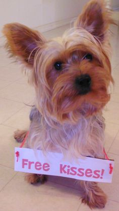 Free Kisses | Yorkshire Terrier #Yorkie