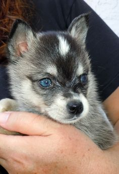@Carly Alder Alaskan Klee Kai! get this!    Like and repin. :) Cute Puppies, Cute Dogs, Dogs And Puppies, Doggies, Dog Lover Gifts, Dog Lovers, Alaskan Klee Kai, I Like Dogs, New Puppy
