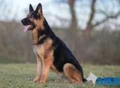 #FamilyProtectionDog Laura at #A1K9. Husky, Corgi, German, Animals, Deutsch, Animales, German Language, Animaux, Corgis