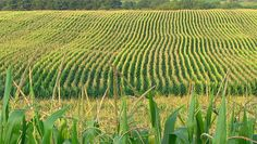 USDA projects higher U.S. corn exports