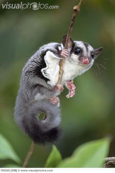 Petaurus | Sugar Glider (Petaurus breviceps) clinging to branch, Crater Mountain ...