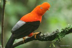En los densos bosques de la selva, vive una de las aves más bellas del Perú; es considerada como el ave nacional.