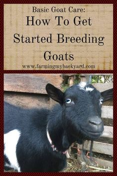 Breeding goats is a necessity if you are keeping them for milk or meat. Learn what the signs of heat are, and where to find a buck. Breeding Goats, Types Of Cows, Big Dog House, Mini Cows, Mini Farm, Miniature Cattle, Longhorn Cow, Goat Care
