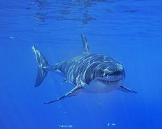 White Shark   Flickr - Photo Sharing!