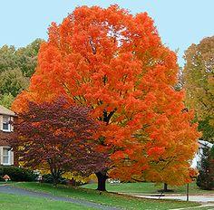 autumn blaze maple - Google Search