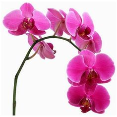 Impress with a simple orchid ❤ liked on Polyvore featuring flowers, backgrounds, fillers, pink and plants