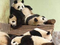 Expo Pandas (世博熊猫) by Toby Garden, via Flickr