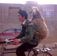 'The best photo of a sheep riding on the back of a man riding on a bicycle you will see today.' Can't really disagree with that. Animals And Pets, Funny Animals, Cute Animals, Animal Pictures, Funny Pictures, People Of The World, Memes, Laugh Out Loud, Make Me Smile
