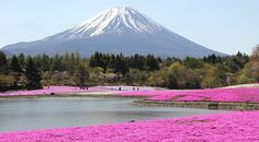 Fuji Five Lakes Travel: Fuji Shibazakura Festival