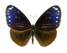 double banded blue crow butterfly Euploea sylvester SET TS M x1 A- CHINA | eBay
