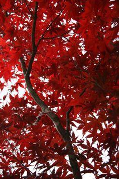 Autumn Red, Kyoto, Japan Copyright: carol lui