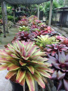 Bromelaid Malaysia.Some of my matured neoregelia — with Bromeliads Taiwan and Ciapus Bromeliad Nursery.