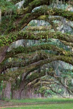 Moss on oak trees