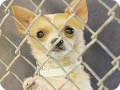 Scottsdale, AZ - Chihuahua. Meet A3424111 a Dog for Adoption.Maricopa County Animal Care. Pure Breed !Please adopt or foster this baby needs out!