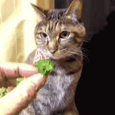 funny-pictures-cat-stealing-broccoli-animated-gif.gif (400×400)