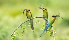 Blue-tailed bee eaters with catch by Uday Ramakrishna on 500px