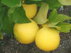 Kusaie lime. One of the most cold tolerant limes but still needs wind protection