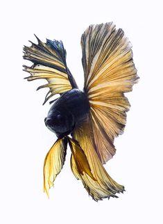 la-grace-des-poissons-de-combat-siamois-en-images13