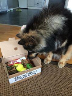 Romeo - DoggieBag.no #DoggieBag #Hund #FinskLapphund