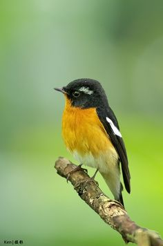 The Mugimaki Flycatcher (Ficedula mugimaki) is a small passerine bird of eastern Asia belonging to the genus Ficedula in the Old World flycatcher family, Muscicapidae. The bird is also known as the Robin Flycatcher. It breeds in eastern Siberia and north-east China. Migrating birds pass through eastern China, Korea and Japan in spring and autumn. The species winters in Southeast Asia, reaching western Indonesia and the Philippines.