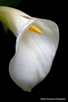 Simple Elegance Calla Lily.  Photo:  Gary Grossman, via Flickr