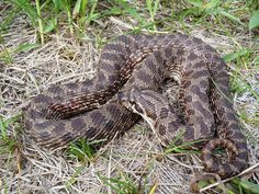 Plains hog-nosed snake.