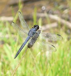 Dragonfly Lion With Wings, Gossamer Wings, Damselflies, Flying Insects, Blue Wings, Beneficial Insects, Dragon Flies, Butterfly Wings, Ladybugs