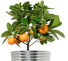 Plant a citrus tree indoors! For those of us not in Florida and California!!! Soooo going to do this!