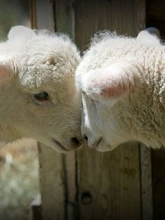Adoring lambs (Or sibling rivalry) Enjoyed by www.mygrowingtraditions.com