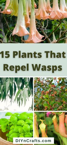 Bees And Wasps, Natural Wasp Repellent, Clove Plant, Getting Rid Of Bees, Get Rid Of Wasps, Cucumber Plant, Red Geraniums, Pitcher Plant