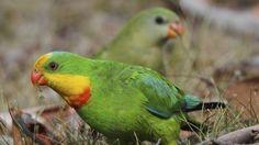 superb parrots.