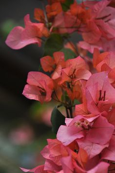 Bougainvillea. <3  Strong memories of where I grew up. My gad grew grew these on our wall.