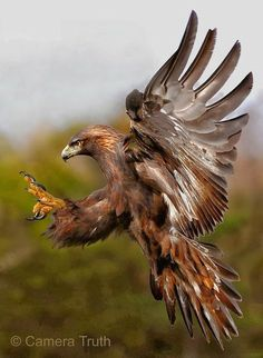 GOLDEN EAGLE - Aquila chrysaetos . . . Eurasia, North America, North Africa.
