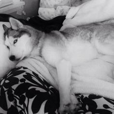 """Your bed is comfy; do I have to get up?"" Siberian Husky."