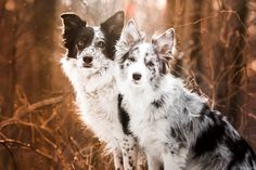 Border collies - null