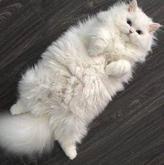 cute cats persian / Birdwatching , cute cats and kittens Cute Cats And Kittens, Baby Cats, Kittens Cutest, Funny Kittens, Pretty Cats, Beautiful Cats, Animals Beautiful, Cute Baby Animals, Animals And Pets