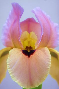 flowersgardenlove:  Iris 'Close Contact' Flowers Garden Love