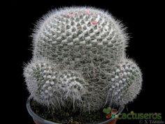 Mammillaria hahniana