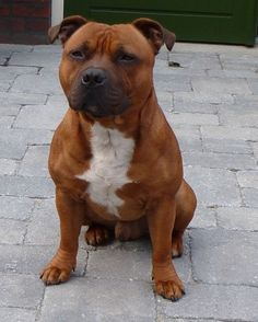 Uplifting So You Want A American Pit Bull Terrier Ideas. Fabulous So You Want A American Pit Bull Terrier Ideas. Staffy Bull Terrier, Staffordshire Bull Terrier Puppies, Amstaff Terrier, Staffy Dog, English Staffy Puppies, American Staffordshire Terriers, English Bull Terriers, Corgi Puppies, Pitbulls