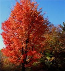 Red Maple - $7.98 - This gorgeous specimen makes your yard or #garden a standout in the neighborhood come #fall season. Its fast growth rate, deer resistance and winter interest (red stems that remain after leaves fall) make it a crowd favorite. #landscaping