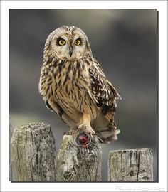 Short-eared Owl - On way to Stump Cross Caves with Miles nr Bolton Abbey - 11.3.12  (photo Velduil)
