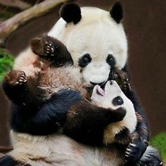 Endangered ~The Giant Panda ~ There are only about left in the wild. Approximately 300 pandas live in zoos and breeding centers around the world, mostly in China. (Sweet mama and baby) Panda Love, Cute Panda, Cute Baby Animals, Animals And Pets, Baby Pandas, Giant Pandas, Wild Animals, Beautiful Creatures, Animals Beautiful