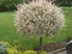 Latijnse naam: Salix integra 'Hakuro-nishiki' Omschrijving: De wilg Salix integra 'Hakuro-nishiki' heeft een prachtig paarsrode kleur aan het einde van de twijgen. De bladeren steken in de lentemaanden flink af tegen die kleur. De blaadjes zijn lichtgroen, hebben een wit waas met roze uitlopers. De katjes hebben eenzelfde kleur groen als ze uitkomen. Hoe verder ze uitkomen, hoe paarser/roder ze worden. Deze cultivar is zeer geschikt voor het maken van vormen. De twijgen kun je al...