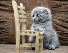 Scottish Fold Kittens. I don't know what it is about kittens and little baby chairs. But I can't get enough.